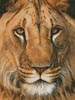 Lion Portrait - Cross Stitch Chart